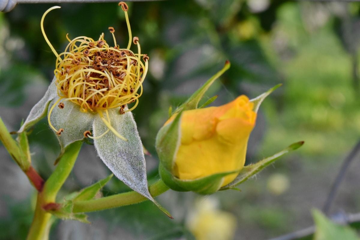 nhụy hoa, vàng, chồi, Sân vườn, Hoa, Thiên nhiên, lá, thực vật, thực vật, mùa hè