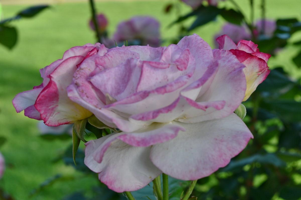 pembe, Gül, doğa, Bahçe, çiçek, çiçek açan, Gül, bitki, Petal, çalı