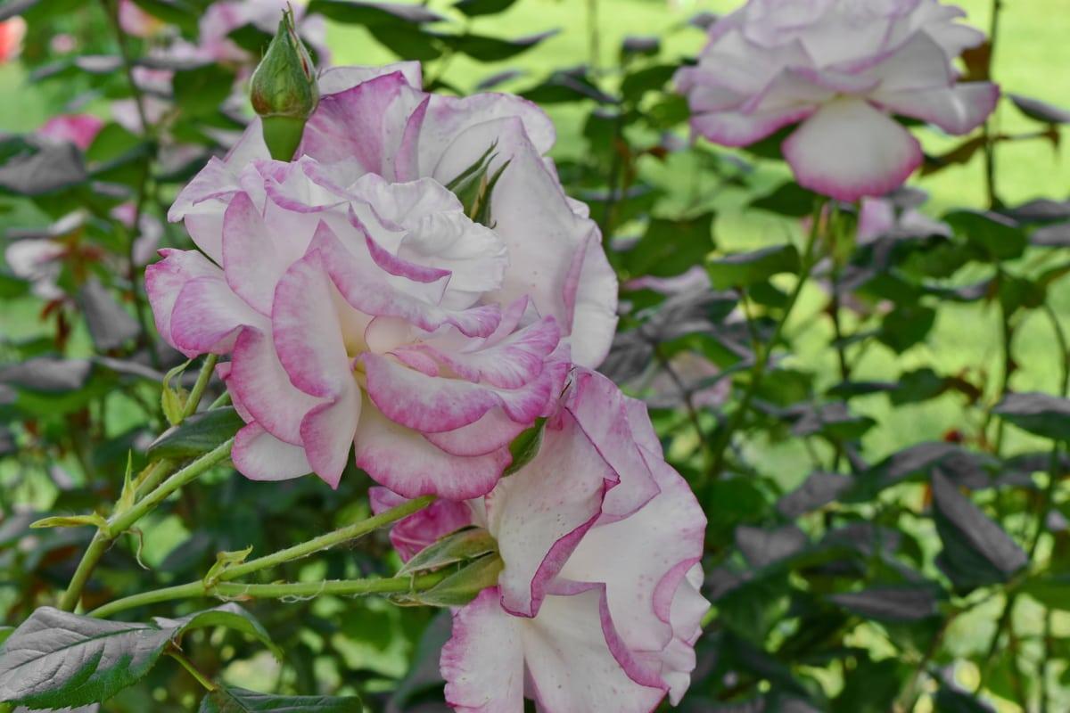hơi hồng, cây bụi, thực vật, Hoa, lá, Thiên nhiên, Hoa hồng, thực vật, nở hoa, Sân vườn