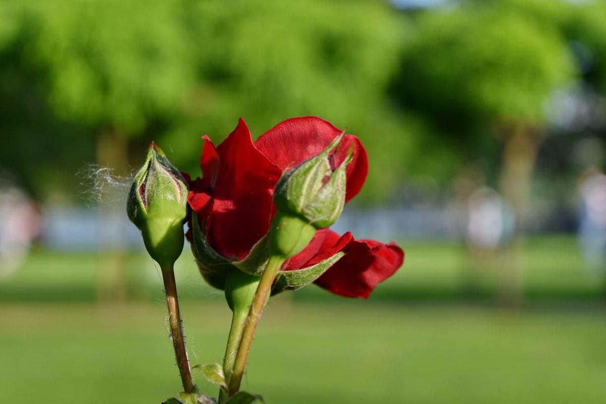 knopp, blomst, natur, kronblad, Sommer, kjærlighet, utendørs, steg, gresset, hage