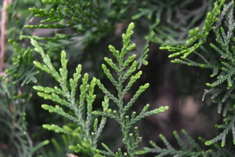 tree, nature, plant, herb, conifer, evergreen, wood, winter, leaf, needle