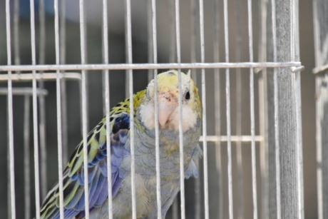 parrot, beak, animal, bird, cage, parakeet, feather, fence, nature, outdoors