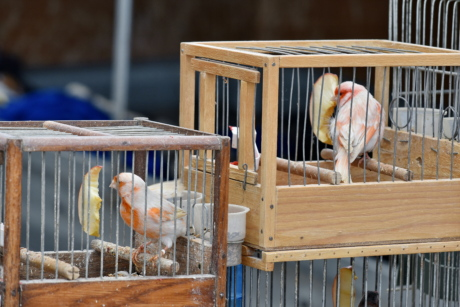 birds, wood, cage, bird, beak, animal, feather, wildlife, avian, indoors
