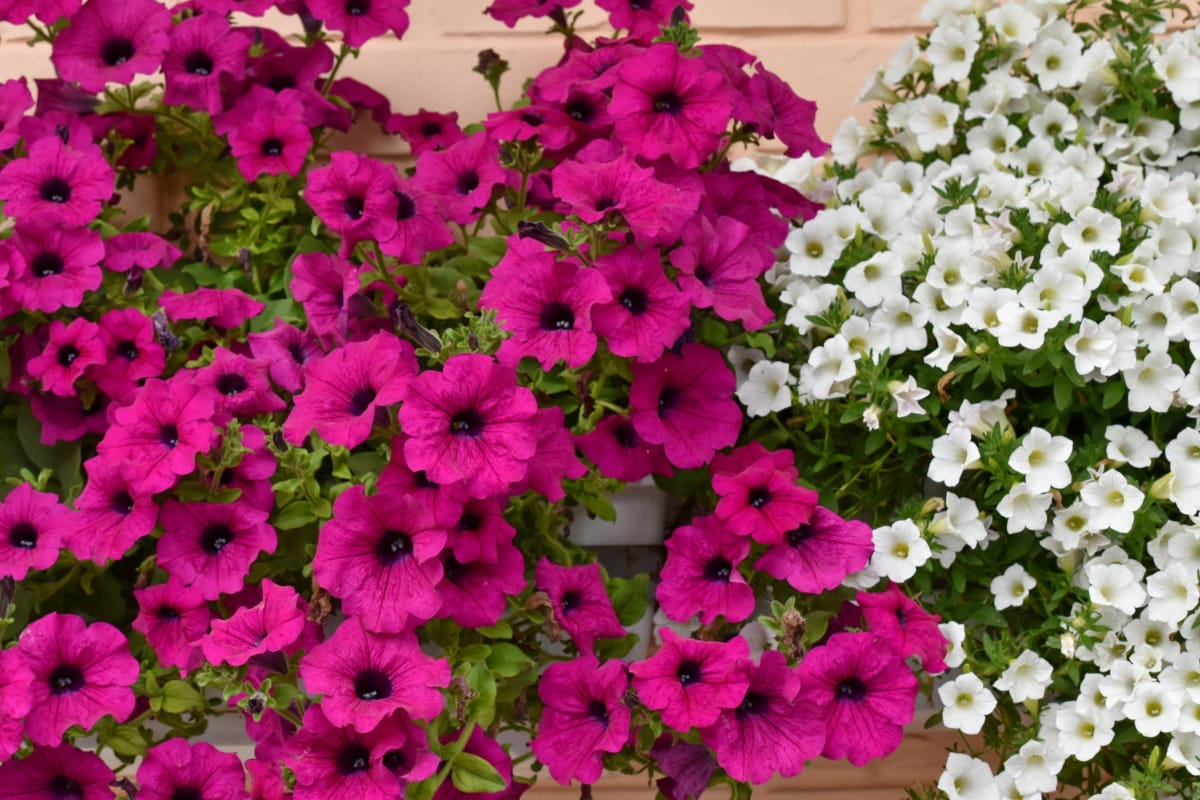 flowerpot, flower, summer, flowers, petunia, nature, flora, garden, leaf, blooming