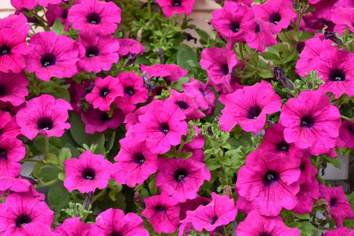 kasvisto, kesällä, Petunia, kukka, Puutarha, kirkas, kukinta, Luonto, lehti, kasvitieteellinen