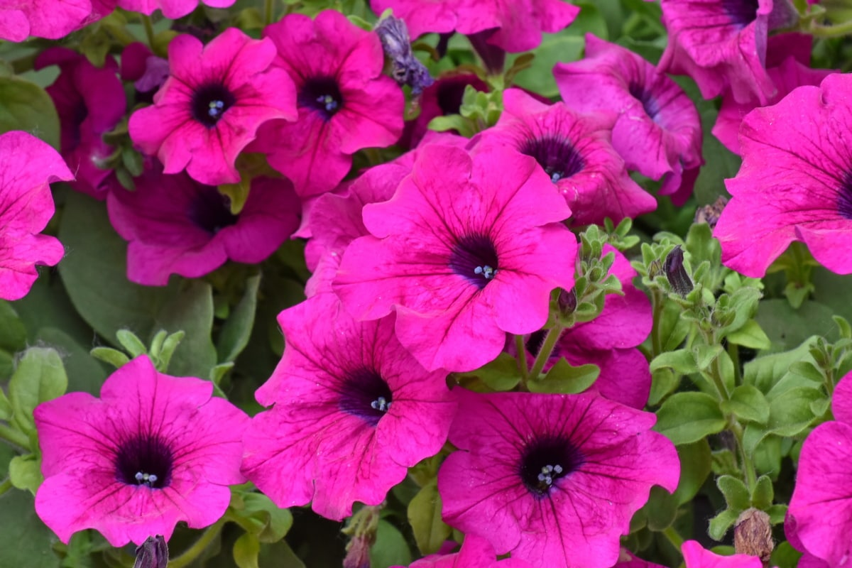 hage, blomstrende, natur, blad, Sommer, flora, blomst, Petunia, lyse, farge