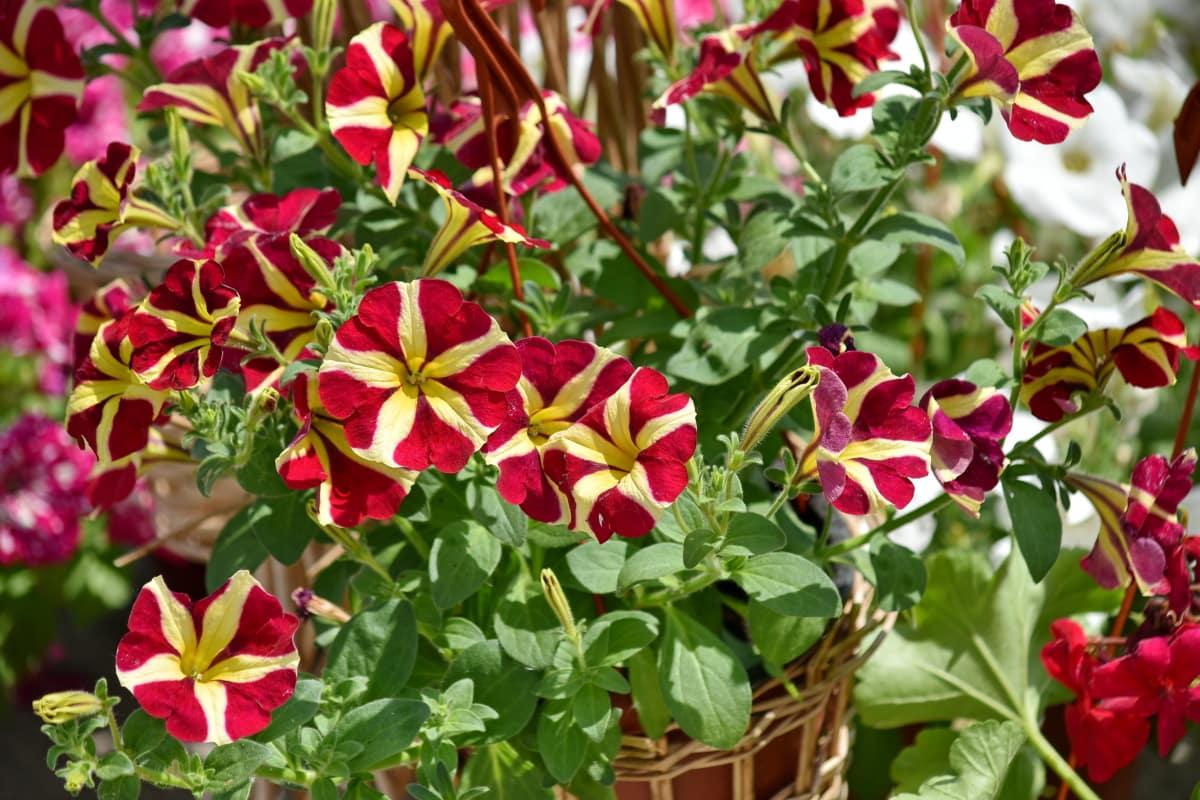 virágoskert, virágcserép, Kertészet, fonott kosár, levél, kert, nyári, természet, virágok, virágzó
