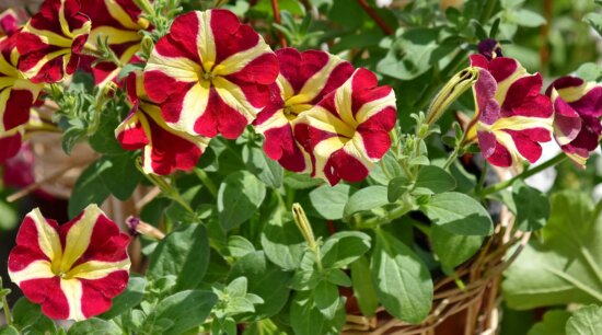 beautiful flowers, decoration, wicker basket, nature, garden, blooming, flower, summer, leaf, bright
