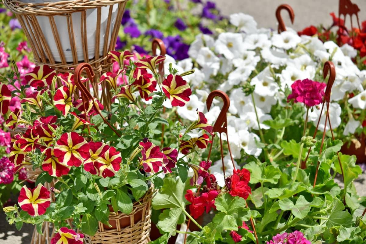 giỏ wicker, Sân vườn, thực vật, màu hồng, Hoa, thực vật, mùa hè, Thiên nhiên, Hoa, lá