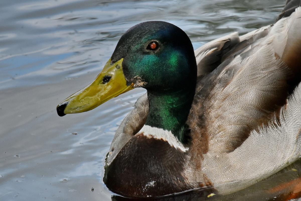 Podrobnosti, vedúci, kačica divá, voľne žijúcich živočíchov, príroda, vták, voda, kačica, plávanie, vodné vtáctvo