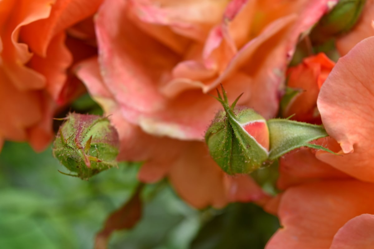 bouton floral, jardin fleuri, fleurs, fleur, plante, bourgeon, Rose, nature, feuille, arbuste