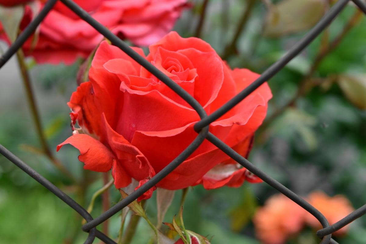 clôture, jardin fleuri, fer, Rose, fleur, barrière, nature, plante, feuille, jardin