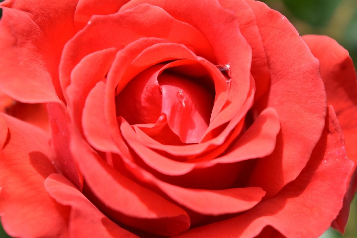 rosée, pétales, pluie, rouge, Rose, affection, romance, fleur, pétale, Blooming