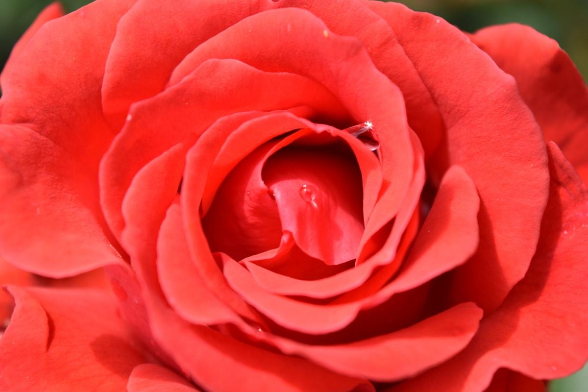 dagg, trädgårdsodling, kronblad, ökade, buske, blommande, blomma, botaniska, naturen, flora