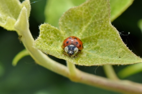 detail, green leaves, ladybug, garden, arthropod, beetle, nature, bug, leaf, insect