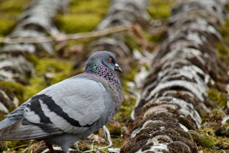 lichen, moss, pigeon, roof, animal, wildlife, beak, nature, bird, outdoors