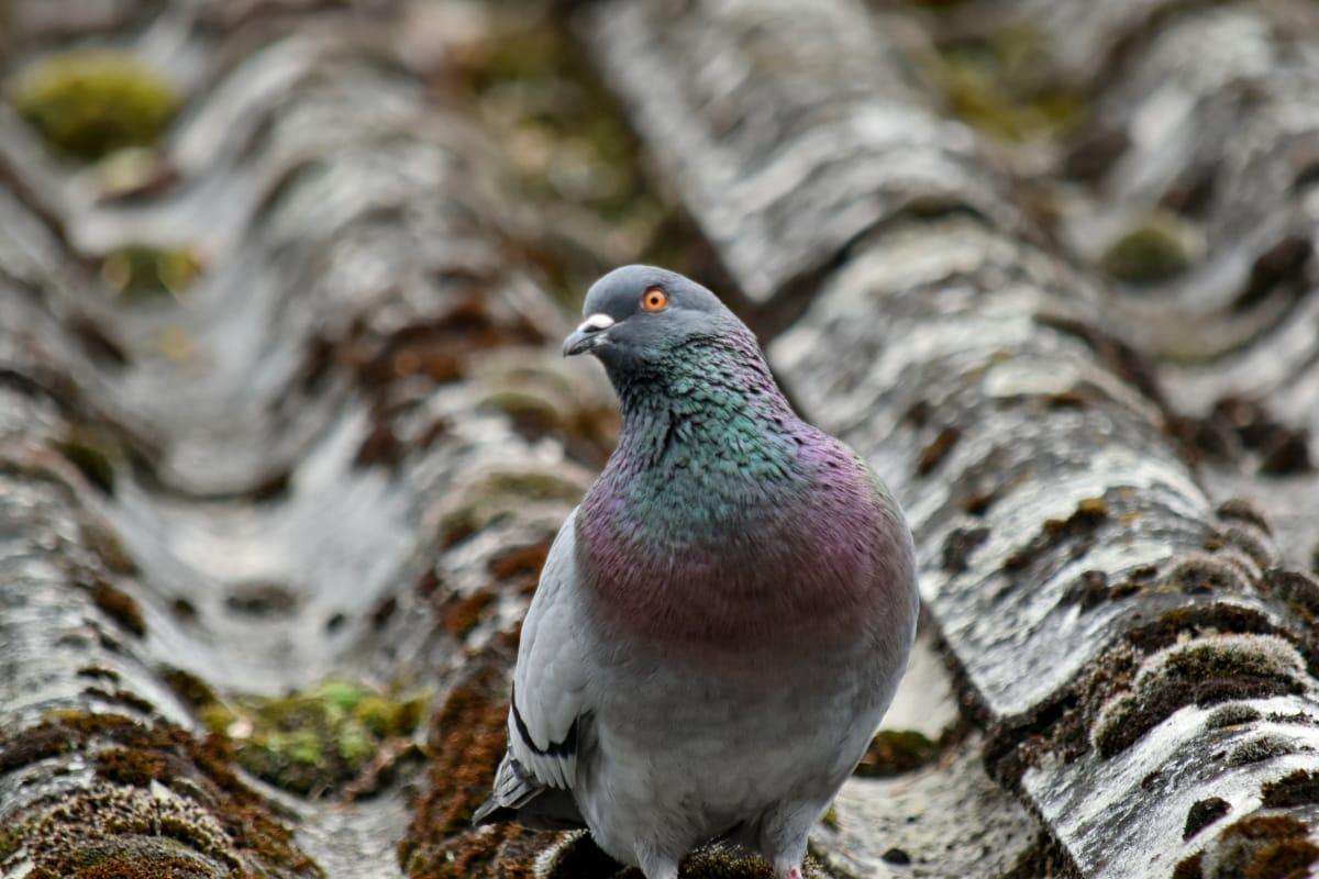 barevné, hledáte, mechový, holub, střecha, divoká zvěř, Příroda, divoká, pták, Dove