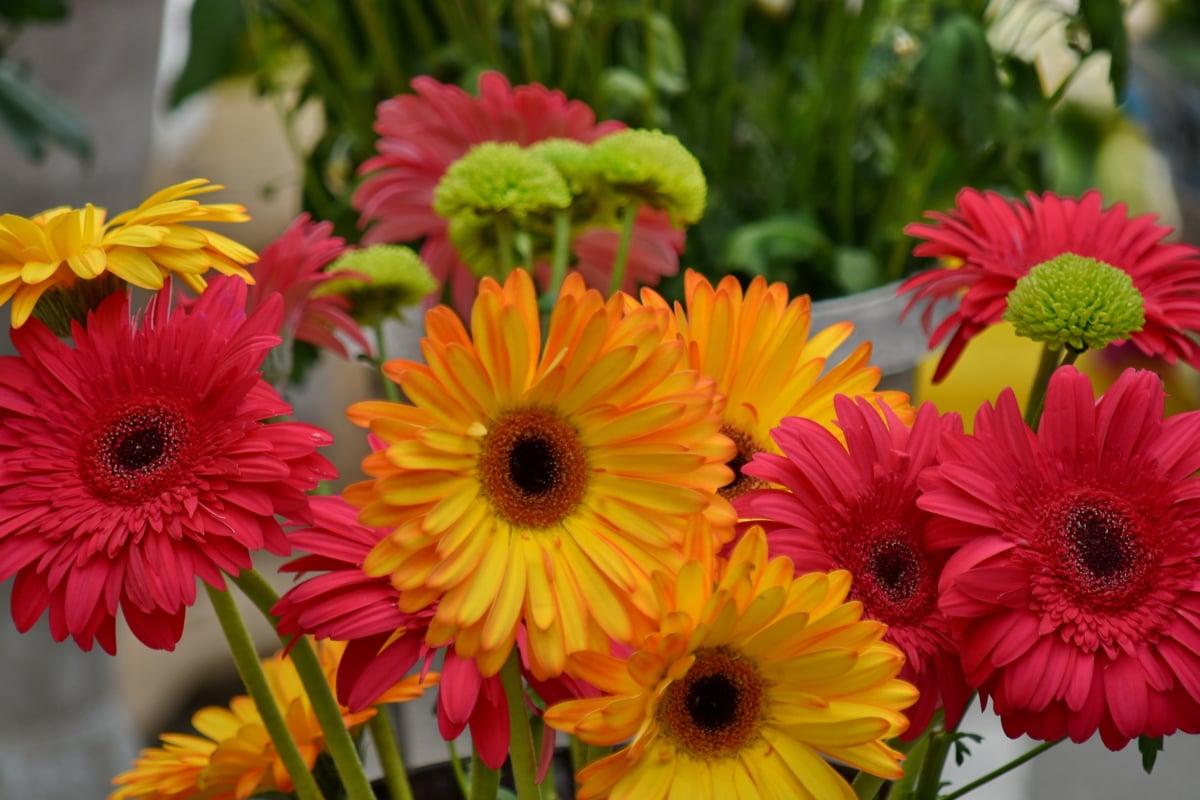 Chryzantema, kwiaty, kwiat, bukiet, flora, Latem, jasne, Natura, ogród, liść