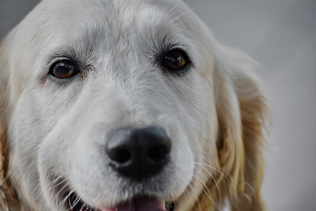 สวยงาม, สุนัข, หัว, กำลัง, สายเลือด, แนวตั้ง, สีขาว, ลูกสุนัข, สายพันธุ์, จำพวก