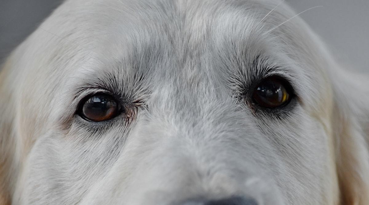 pas, oči, glava, ljubimac, slatka, portret, pas, radni pas, životinja, oko