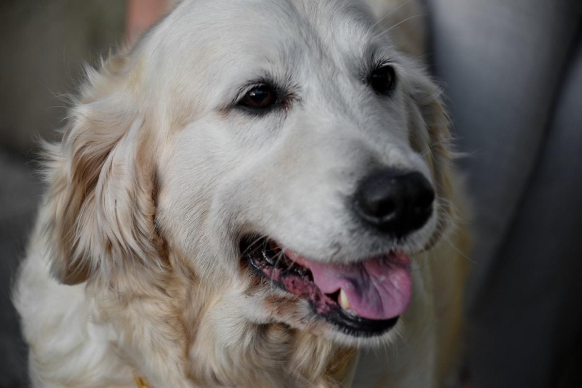 frumos, câine, prietenos, fericit, alb, canin, Retriever, câine de vânătoare, catelus, drăguţ