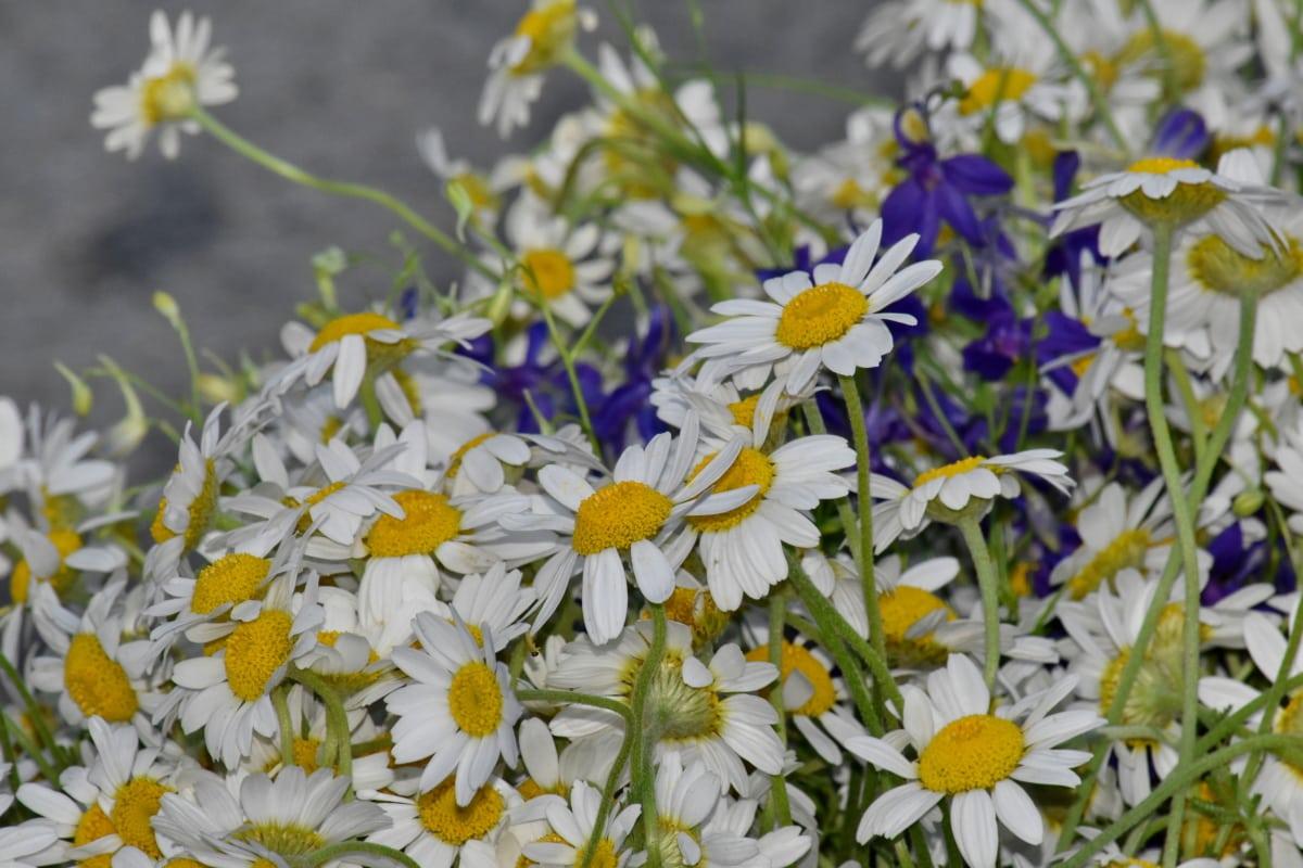 คาโมไมล์, ดอกไม้, โรงงาน, ฤดูร้อน, ดอก, ฟลอรา, ธรรมชาติ, สมุนไพร, ใบไม้, สวน