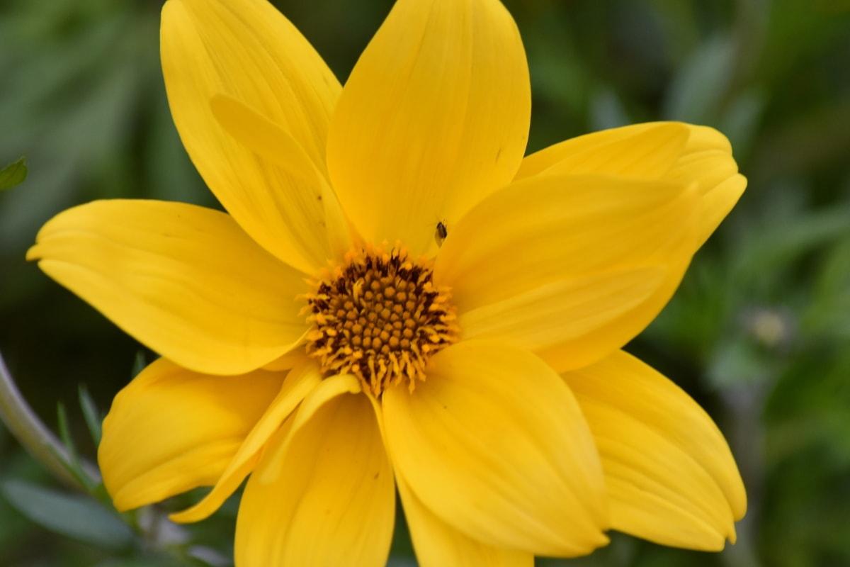 latica, cvijet, žuta, biljka, ljeto, cvijet, suncokret, priroda, list, flore