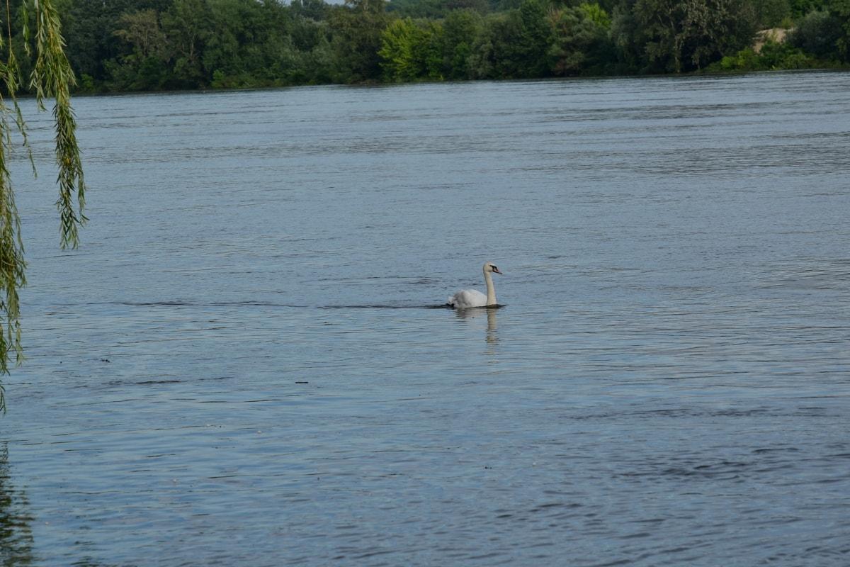 rijeka, obala rijeke, labud, tijekom, Divljina, biljni i životinjski svijet, voda, ptica, jezero pejzaž, Obala
