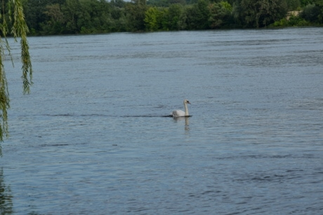 river, riverbank, swan, swimming, wilderness, wildlife, water, bird, lakeside, shore