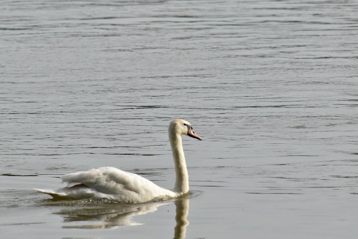 หงส์, ว่ายน้ำ, นก, นกกระยาง, น้ำ, นกน้ำ, ปีก, ทะเลสาบ, สระว่ายน้ำ, สัตว์ป่า