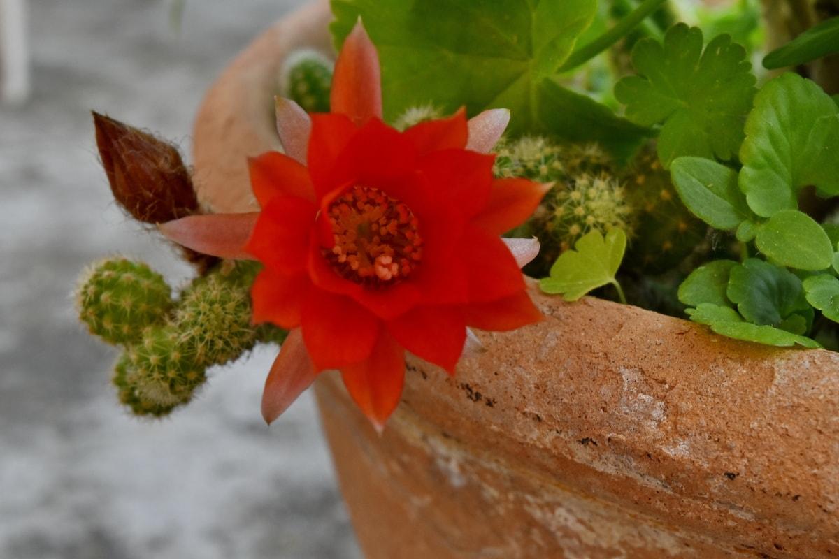 cactus, floare, Ghiveci de flori, ceramica, roșu, teracota, natura, frunze, flora, gradina
