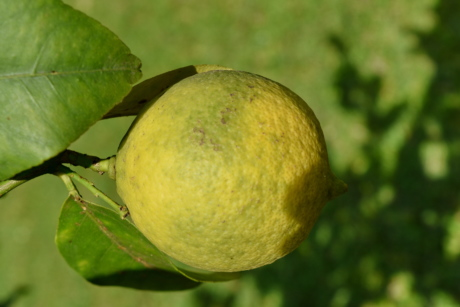 blurry, branches, citrus, fruit tree, growing, organic, yellow, fruit, leaf, food
