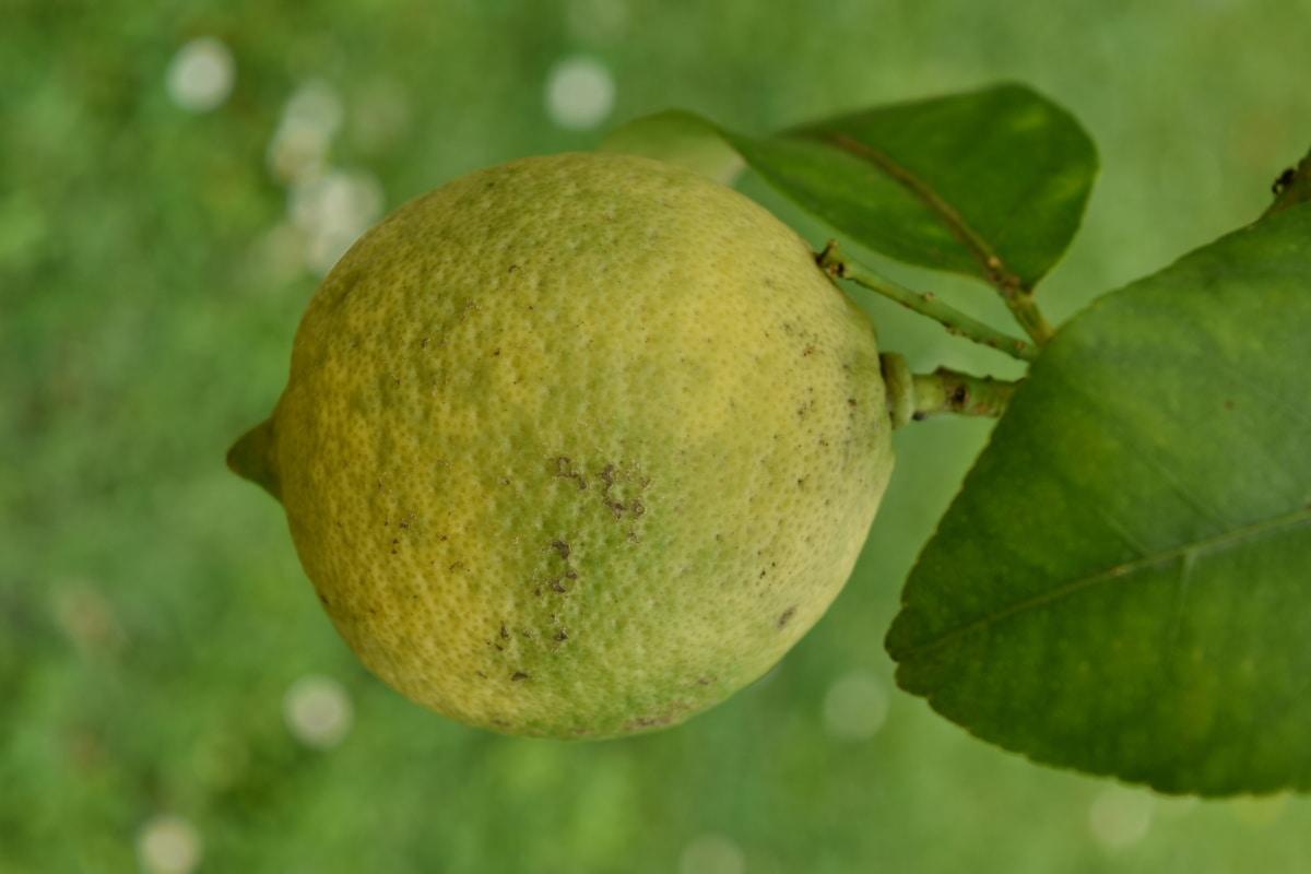 sitrus, frukt treet, grønne blader, sitron, organisk, vitaminer, natur, mat, råvarer, blad