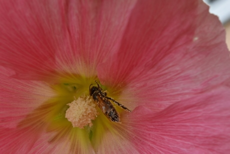 bee, insect, nectar, pollinating, pollen, plant, flower, nature, shrub, flora