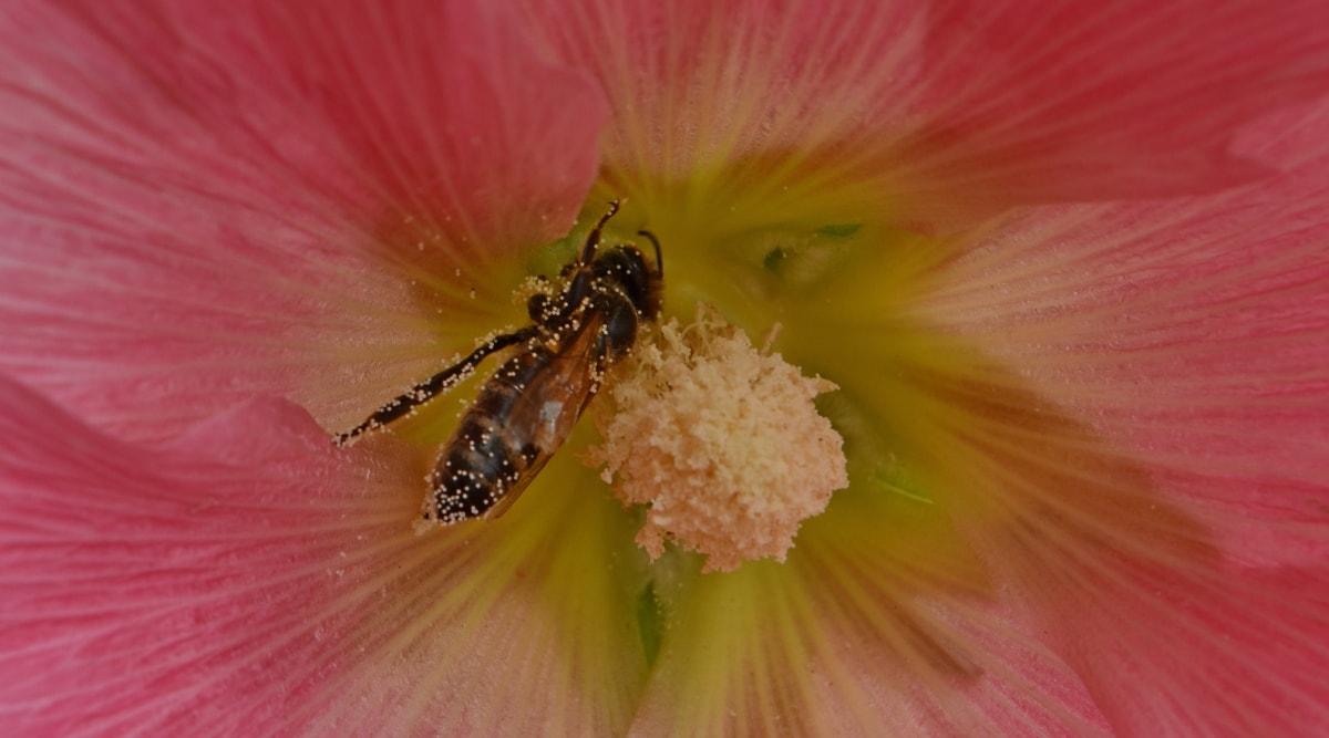 abeja, insectos, néctar de, polen, polinizador, arbusto, flor, planta, naturaleza, verano