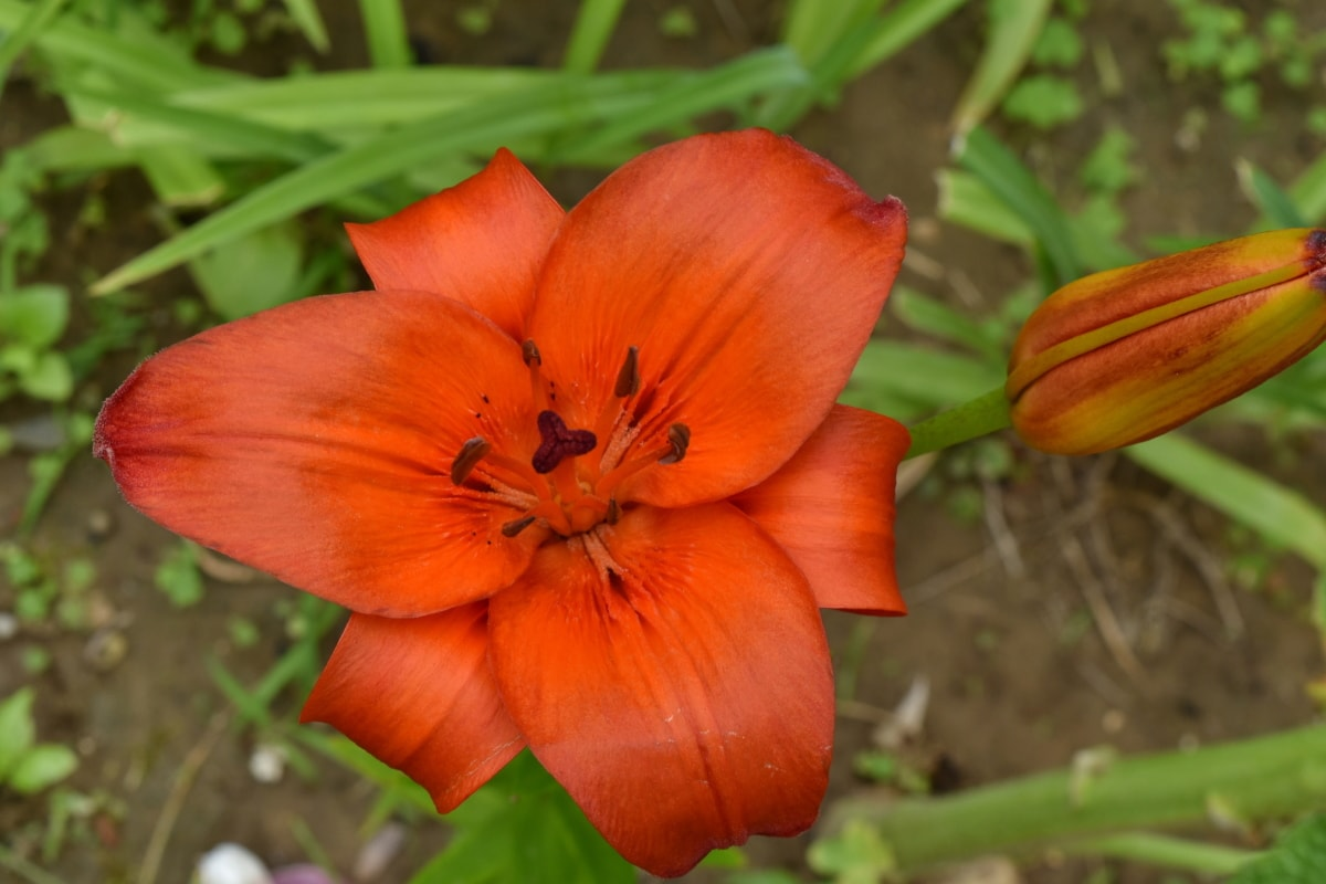 beautiful flowers, lily, nature, bloom, leaf, flower, outdoors, flora, summer, garden