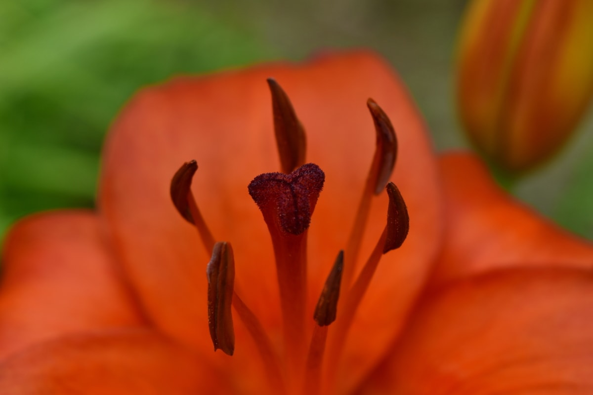 zbliżenie, lilia, makro, Słupek, pyłek, liść, Płatek, Natura, kwiat, ogród