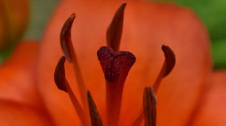 detalj, ljiljan, latice, tučak, crvenkasto, cvijet, priroda, flora, list, na otvorenom