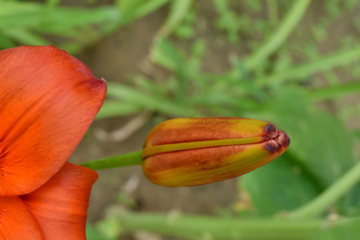 間近, 花のつぼみ, ハーブ, ユリ, 花, ガーデン, 昆虫, 自然, 葉, 春