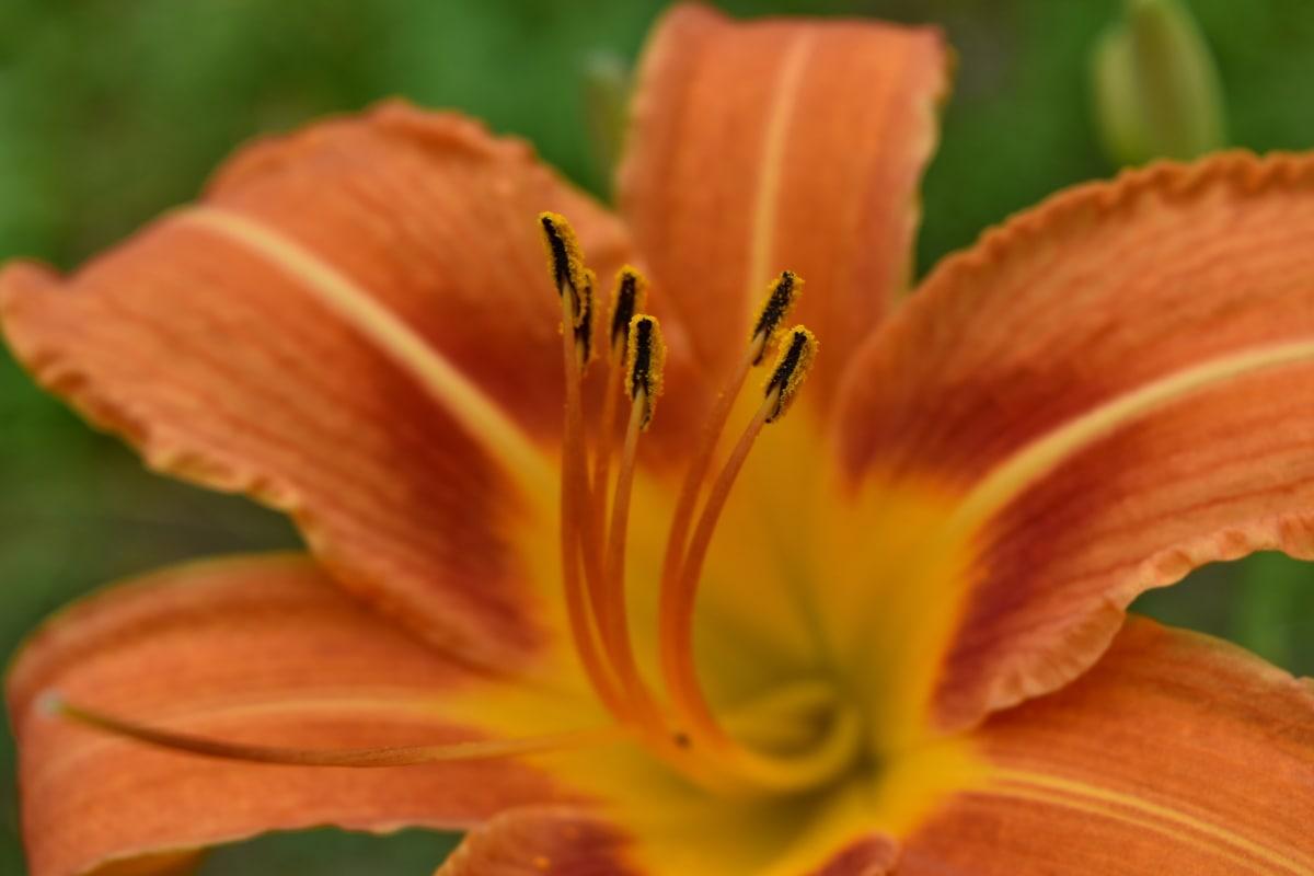 красивые цветы, Лили, цветок, Природа, завод, Флора, лист, Лето, яркий, на открытом воздухе