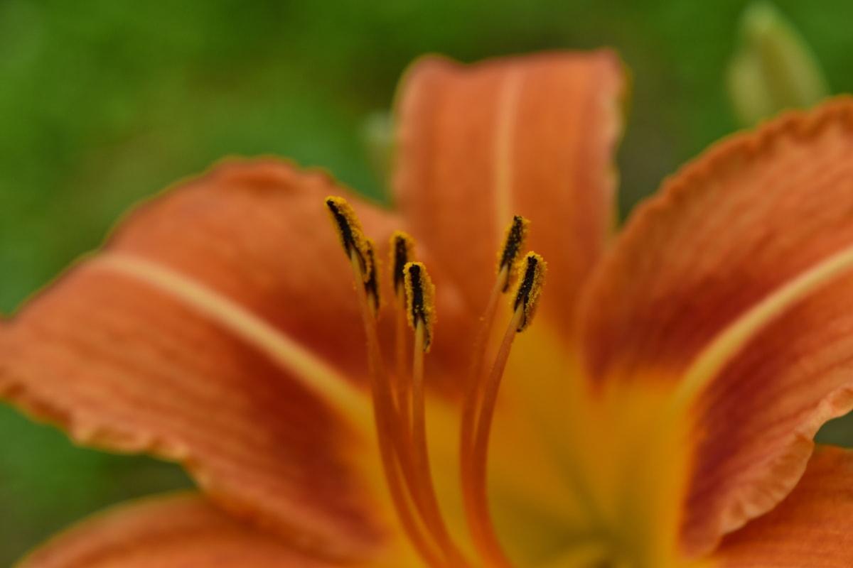 릴리, 암 꽃 술, 꽃가루, 정원, 공장, 자연, 블 룸, 봄, 꽃, 여름
