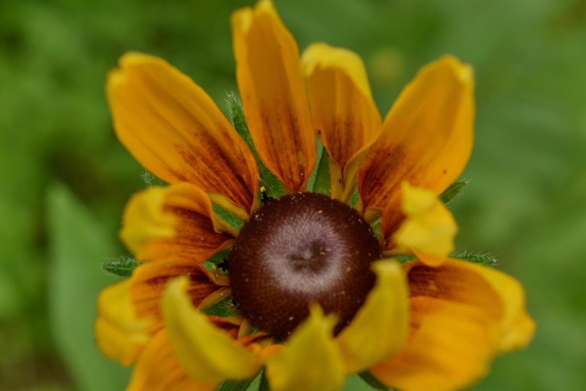 hnedá, piestik, bylina, príroda, letné, kvet, rastlín, žltá, lupienok, vonku