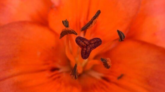 belle photo, en détail, Lily, macro, pistil, pollen, rougeâtre, fleur, étamine, jardin