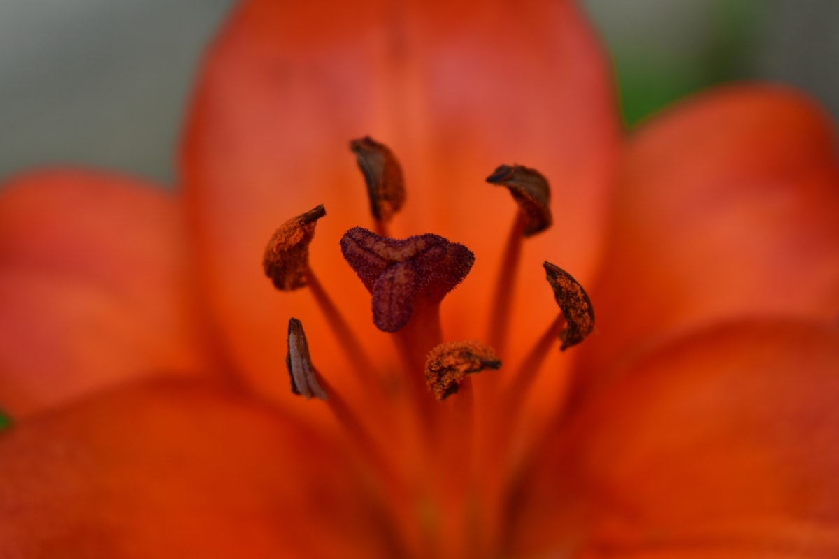 beautiful photo, blurry, close-up, detail, lily, pistil, flower, nature, bright, color