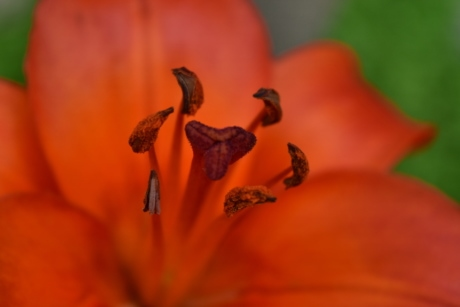 beautiful photo, close-up, detail, lily, macro, photography, pistil, nature, flower, garden