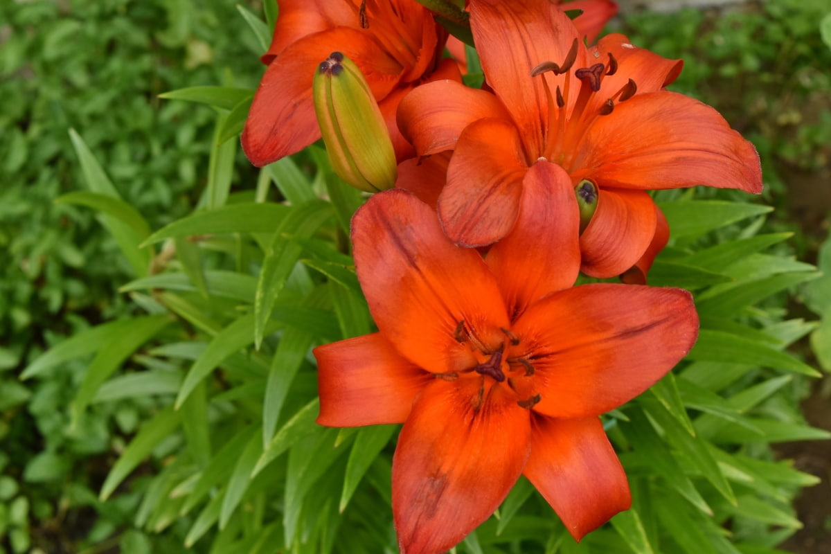 Lily, cánh hoa, nhụy hoa, màu đỏ, lá, hoa, Sân vườn, Hoa, Thiên nhiên, mùa hè