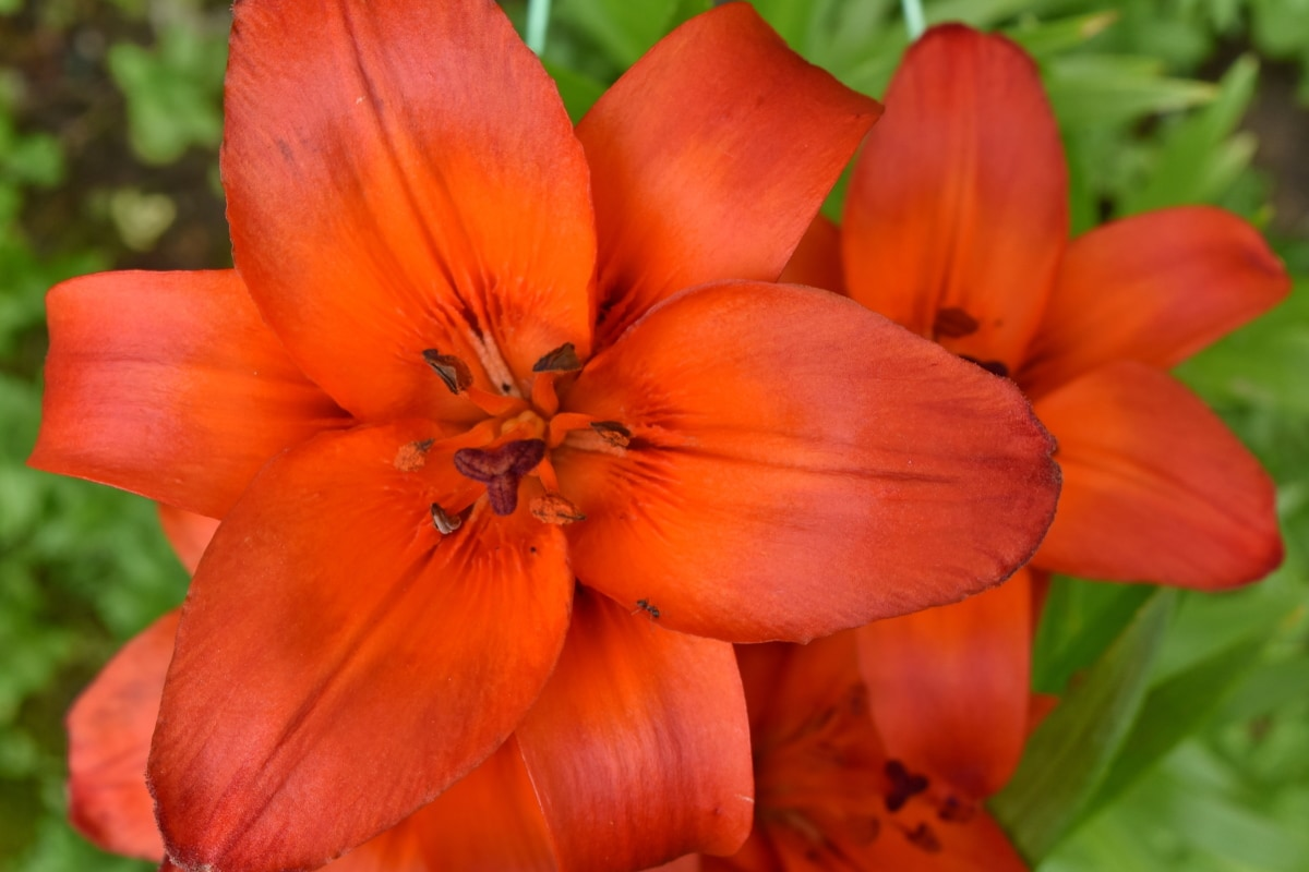 beautiful flowers, lily, pollen, red, leaf, plant, petal, flora, flower, nature
