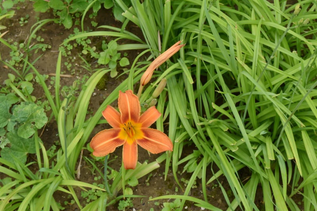 아름 다운 꽃, 꽃 봉 오리, 정원, 릴리, 잎, 자연, 공장, 플로 라, 꽃, 잔디