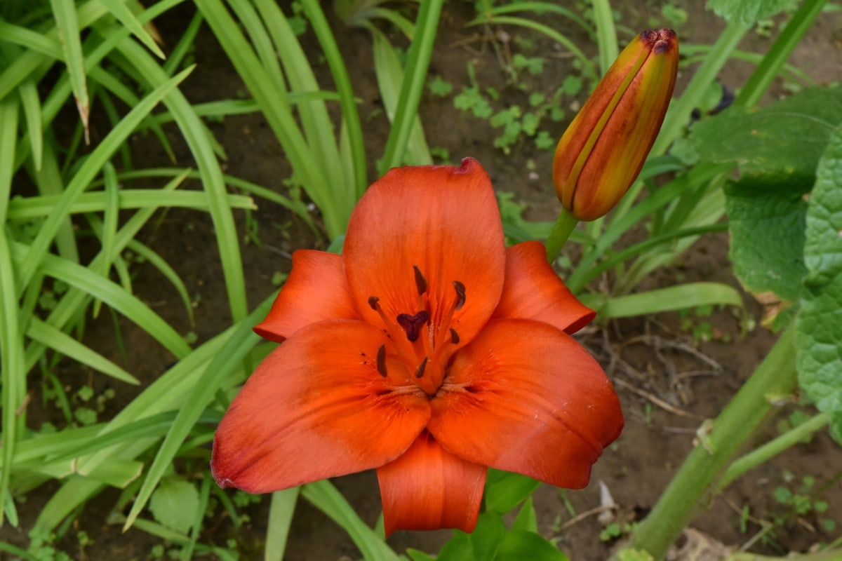 blomma, naturen, blad, lilja, Utomhus, trädgård, sommar, gräs, ljusa, färg