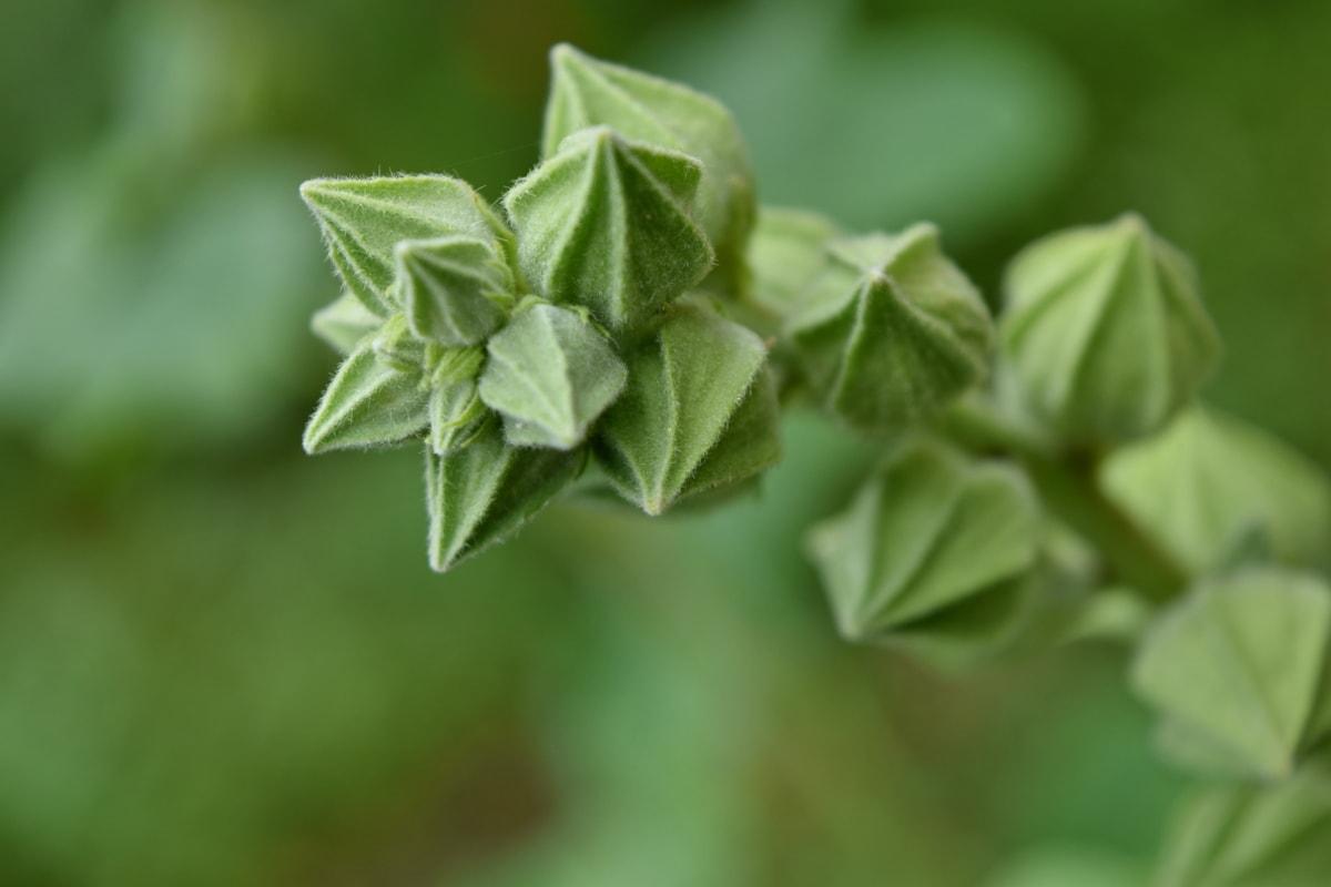 模糊, 生态, 花蕾, 重点, 黄绿色, 中药, 罗勒, 叶, 叶, 植物